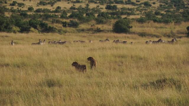 africa - lion and zebra - zebra print stock videos & royalty-free footage