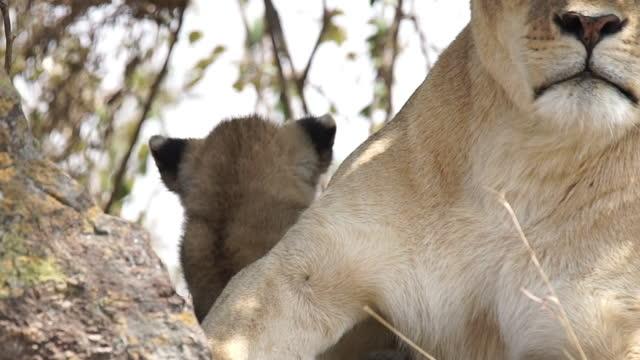 stockvideo's en b-roll-footage met africa - lion cub behind mother lion - neerstrijken