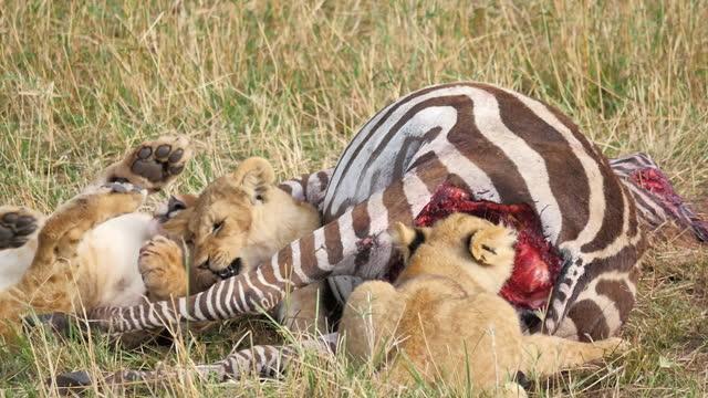africa - lion cub eating prey - zebramuster stock-videos und b-roll-filmmaterial