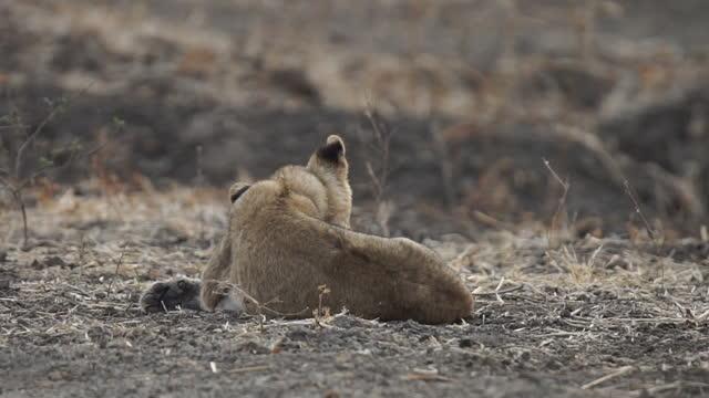 africa - lion cub resting - tier rücken stock-videos und b-roll-filmmaterial