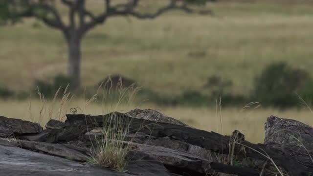 africa - lion cub - tier rücken stock-videos und b-roll-filmmaterial