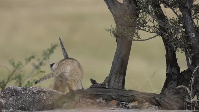 stockvideo's en b-roll-footage met africa - lion cubs playing near tree - neerstrijken