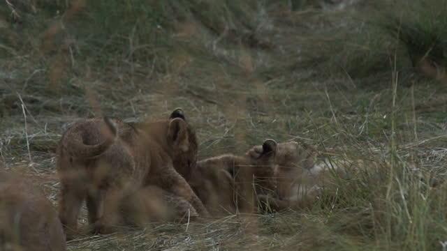 africa - lion cubs playing - tier rücken stock-videos und b-roll-filmmaterial