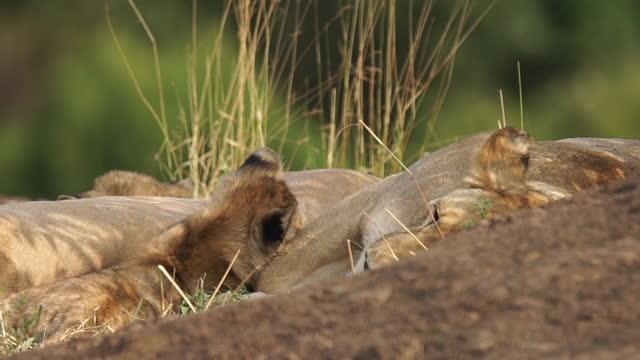 vídeos y material grabado en eventos de stock de africa - lion cubs playing - grupo pequeño de animales