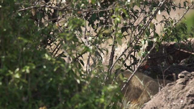 vídeos de stock, filmes e b-roll de africa - lion cubs - grupo pequeno de animais