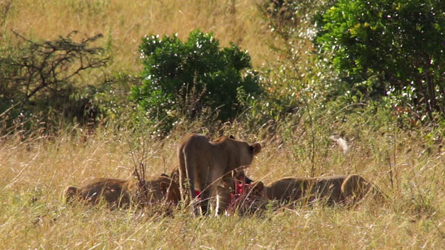 africa - lion eating prey - small group of animals stock videos & royalty-free footage