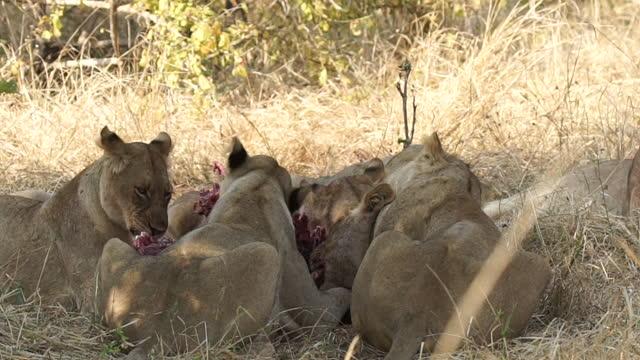 africa - lion eating prey - tier rücken stock-videos und b-roll-filmmaterial