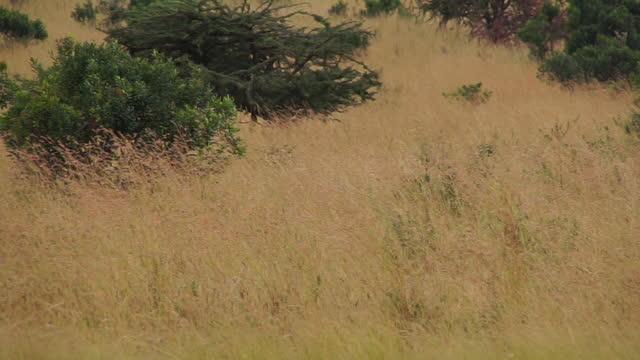 africa - lion in grassland - tier rücken stock-videos und b-roll-filmmaterial