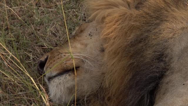 vidéos et rushes de africa - lion lying down - nez d'animal