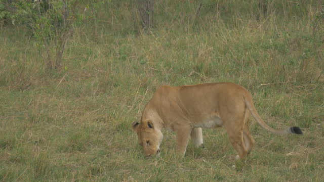africa - lion moving and smelling - annusare video stock e b–roll