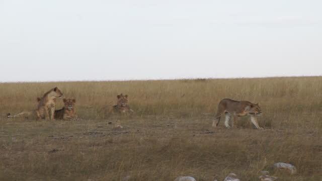 vídeos y material grabado en eventos de stock de africa - lion moving - grupo pequeño de animales