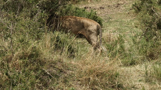 africa - lion moving - zweig stock-videos und b-roll-filmmaterial