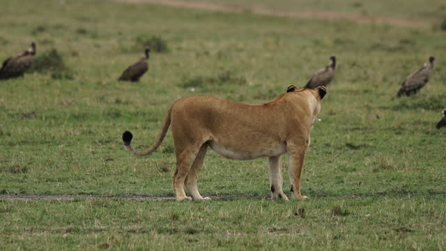 africa - lion moving - medium group of animals stock videos & royalty-free footage