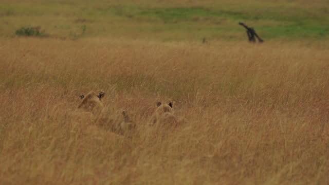 vídeos y material grabado en eventos de stock de africa - lion playing - grupo pequeño de animales