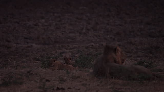 africa - lion resting and lion cub playing at night - small group of animals stock videos & royalty-free footage