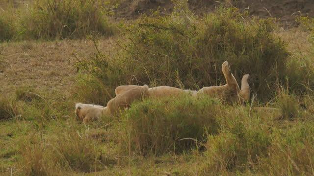 africa - lion resting - zweig stock-videos und b-roll-filmmaterial
