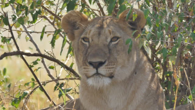 africa - lion resting - maul stock-videos und b-roll-filmmaterial
