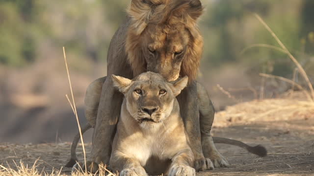 africa - lion resting - animal hair stock videos & royalty-free footage