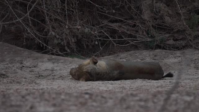 africa - lion resting - tier rücken stock-videos und b-roll-filmmaterial