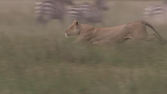 stockvideo's en b-roll-footage met africa - lion running - vrouwtjesdier