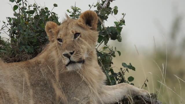 vidéos et rushes de africa - lion taking rest - nez d'animal