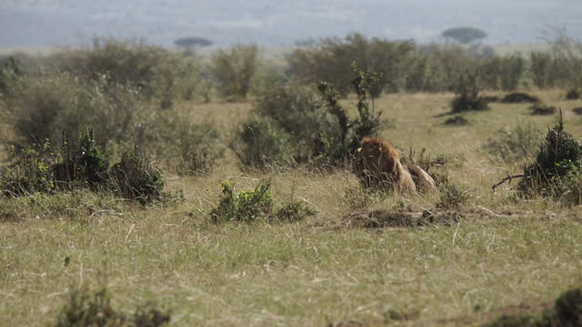 africa - lion taking rest - maul stock-videos und b-roll-filmmaterial