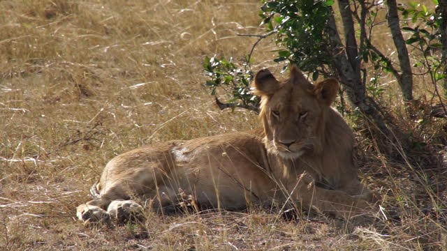 africa - lion under tree shadow - animals in the wild stock videos & royalty-free footage