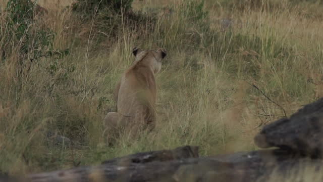 africa - lion - tier rücken stock-videos und b-roll-filmmaterial