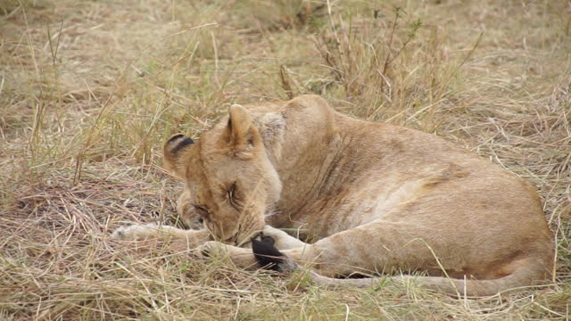 africa - lion - animal nose stock videos & royalty-free footage