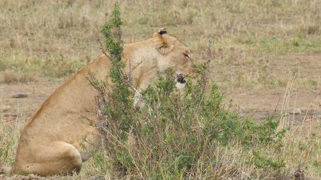 vidéos et rushes de africa - lion - nez d'animal
