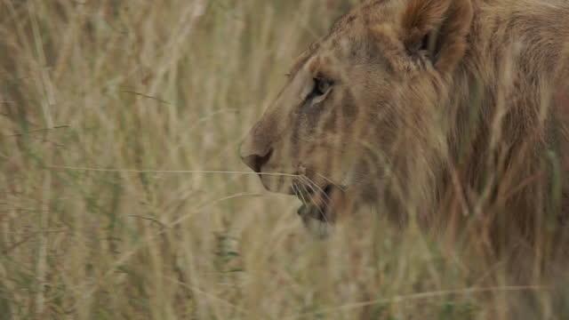 vidéos et rushes de africa - lion walking and moving - nez d'animal