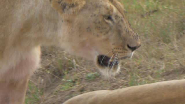 africa - lion walking and moving - schnurrhaar stock-videos und b-roll-filmmaterial