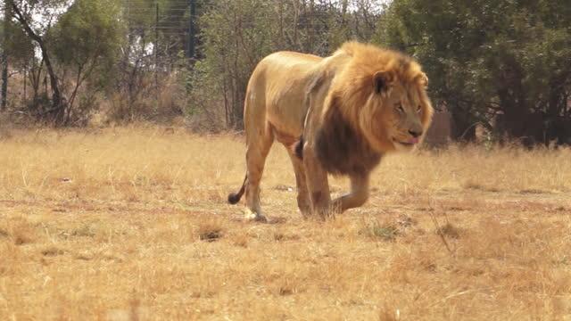 vidéos et rushes de africa - lion walking and moving - clôture
