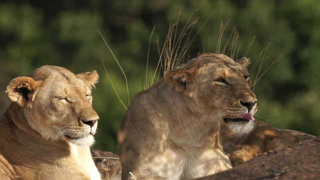 africa - lion yawning - tierfamilie stock-videos und b-roll-filmmaterial