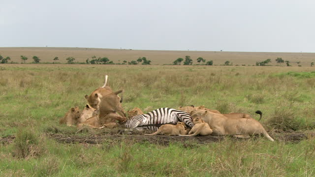 africa - lions eating prey - zebramuster stock-videos und b-roll-filmmaterial