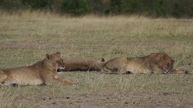 vídeos y material grabado en eventos de stock de africa - lions lying down in grassland - grupo pequeño de animales