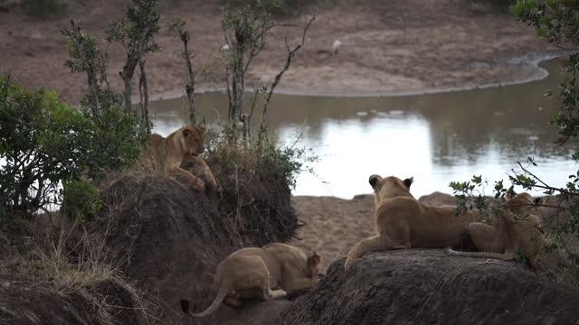 vídeos y material grabado en eventos de stock de africa - lions lying down - grupo pequeño de animales
