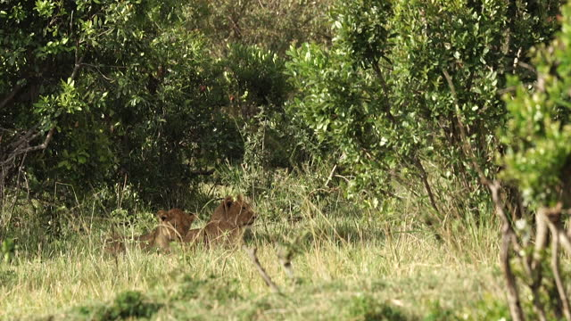 vidéos et rushes de africa - lions resting - nez d'animal