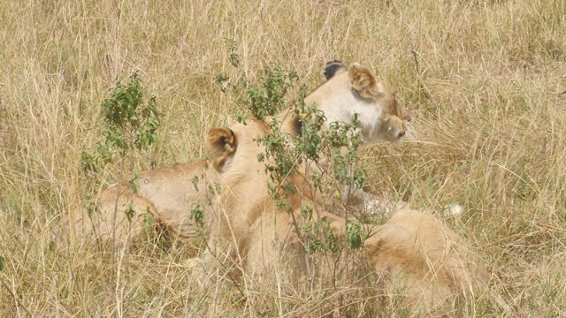 africa - lions resting - tier rücken stock-videos und b-roll-filmmaterial