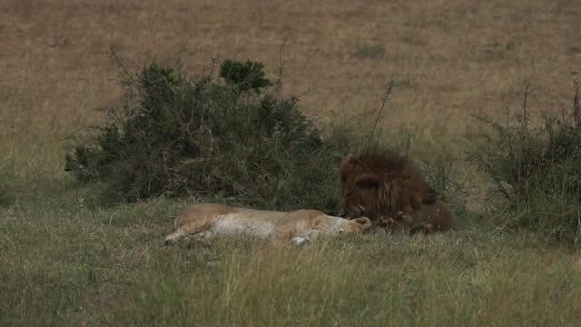 vidéos et rushes de africa - lions taking rest - nez d'animal