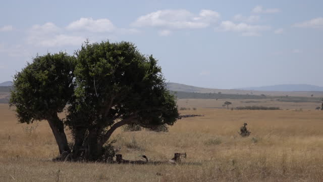 africa - lions under tree shadow in grassland - meadow stock videos & royalty-free footage