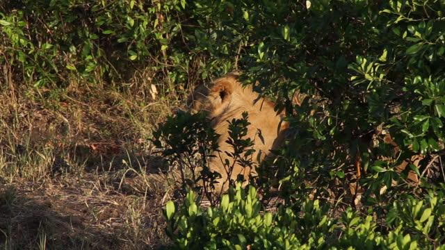vidéos et rushes de africa - lions - nez d'animal