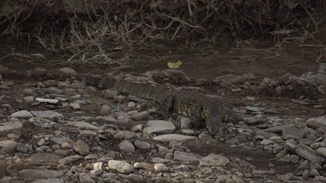 vidéos et rushes de africa - lizard - nez d'animal
