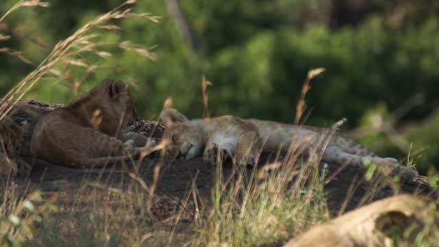 vídeos de stock, filmes e b-roll de africa - mother lion and lion cub lying down - grupo pequeno de animais