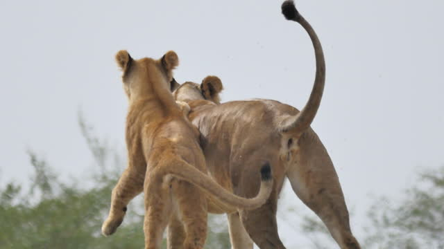 africa - mother lion and lion cub playing - ライオン点の映像素材/bロール