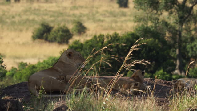 africa - mother lion and lion cub resting - small group of animals stock videos & royalty-free footage