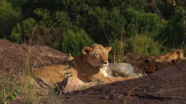africa - mother lion and lion cub suckling - small group of animals stock videos & royalty-free footage