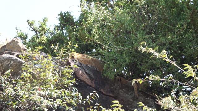vídeos de stock, filmes e b-roll de africa - mother lion and lion cub under shadow of tree - grupo pequeno de animais