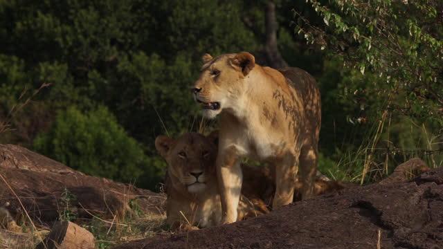 vídeos de stock, filmes e b-roll de africa - mother lion and lion cub - grupo pequeno de animais