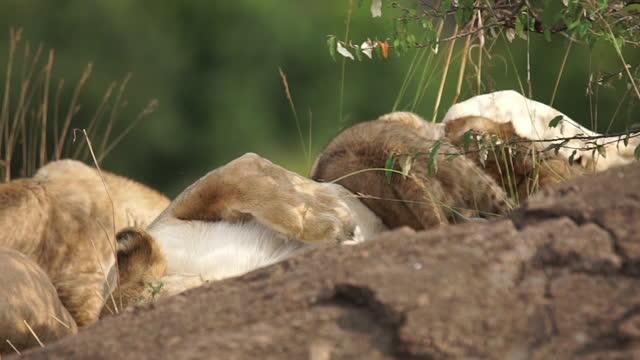 vídeos y material grabado en eventos de stock de africa - mother lion and lion cubs lying down - grupo pequeño de animales